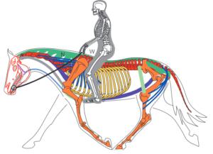 Saddle Fitting - Clinique de Biomécanique Équine